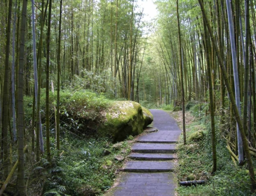 ZiSun tea culture tour GuZhu Bamboo Forest