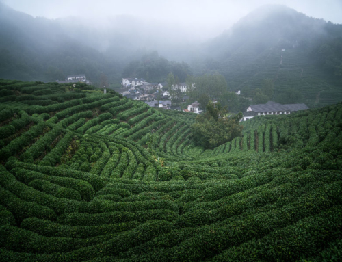 LongJing tea culture tour HangZhou